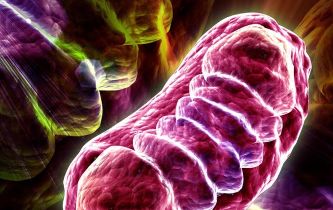 Mitochondria have asocial-life!