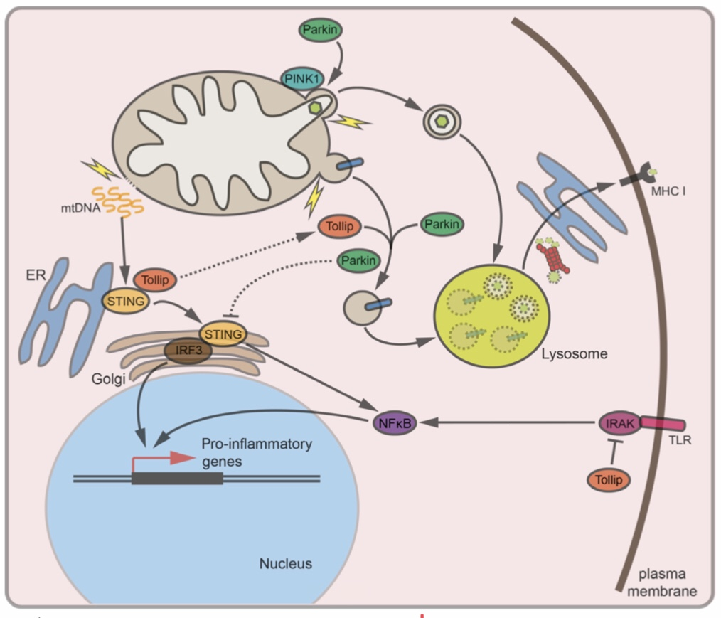 Magnificent mitochondria